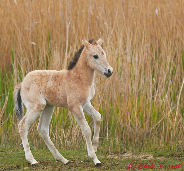 Konik Pony Fawn at RSPB Minsmere
