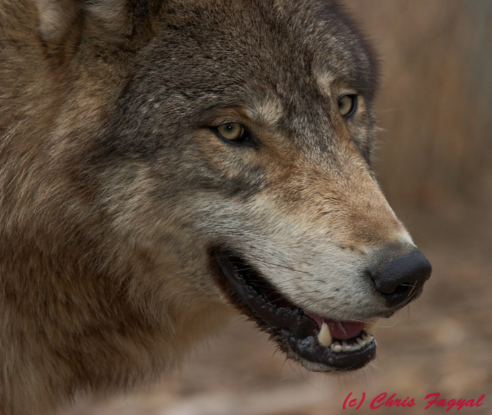 Gray Wolf closeup (c)