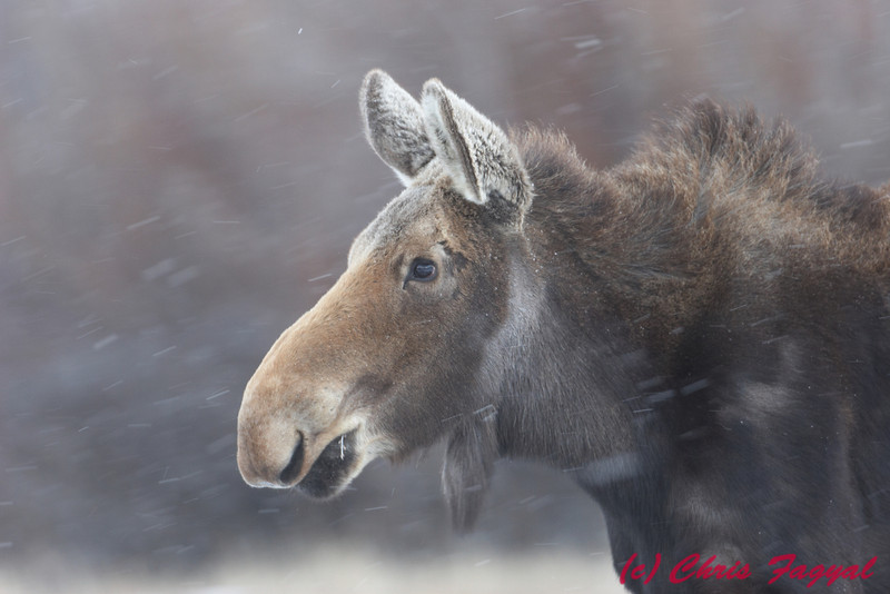 American Moose in snow