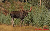 American Moose in Jasper National Park