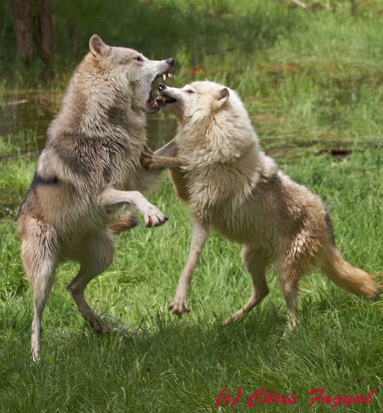 Gray Wolves play fighting (c)