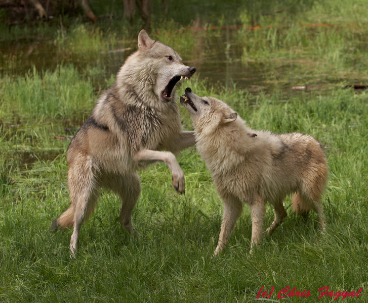 Gray Wolves fighting (c)