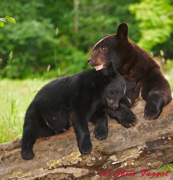 Black Bear cub resting on mom.