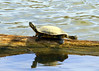 Turtle catches some sun 2