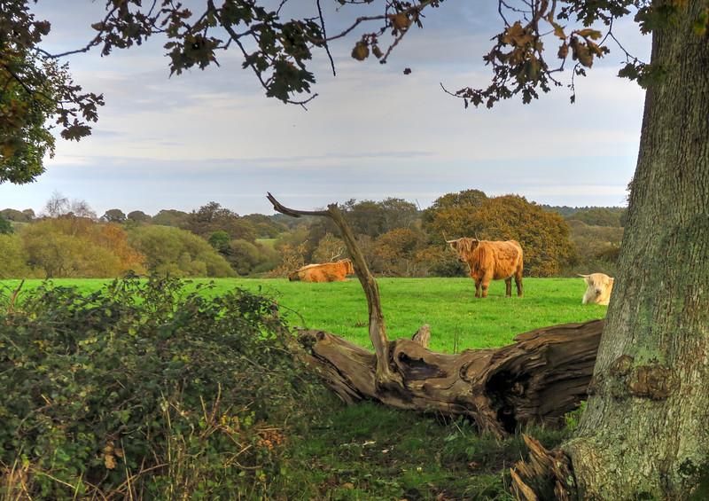 Highland cattle near the start