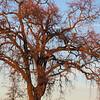 Lace-y oak