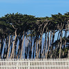 Windswept trees near the Cliff House