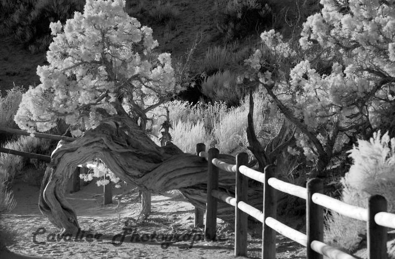 DGrin SO 2008 - 755<br /> <br /> Juniper tree fence, Landscape Arch, Arches National Park, Utah