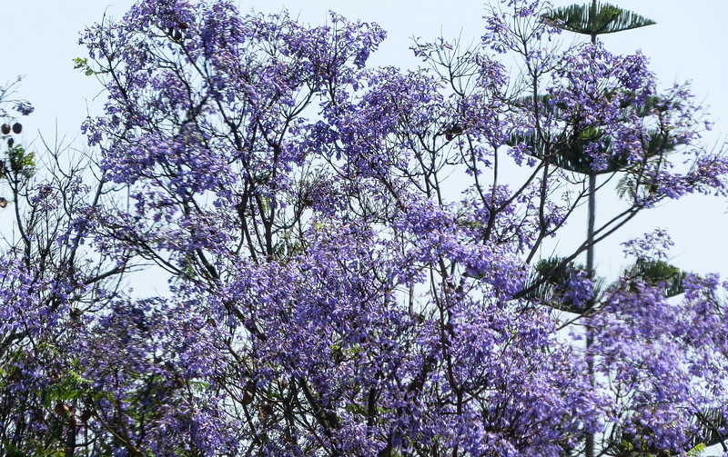 Jacaranda and  pine tree