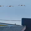 Pelicans floating