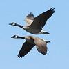 Canadian geese pair