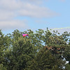 Tailed kite - 1
