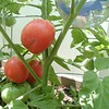 6/23/04 pic of the ripe cluster on Plant 3.