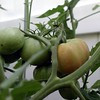 Cluster on first plant (Plant 1) with hint of ripening on one of the fruits. Orange-red undertones visible. Pic taken 6/21/04