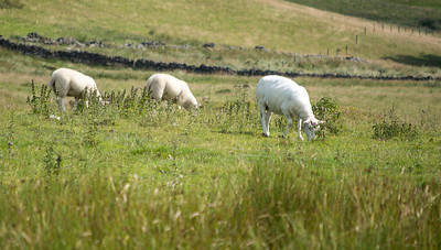 Most of the current residents are sheep