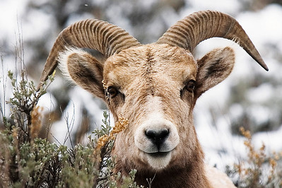 Paul Conrad/The Aspen Times Only a few short yards away as it attempts to hide in the bush, a bighorn sheep closely watches the photographer Friday morning March 2, 2007,  on Frying Pan Road just outside Basalt.