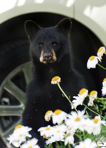 Paul Conrad/The Aspen Times A bear cub peeks its head above a planter of daisies on West Bleeker street near 7th recently.