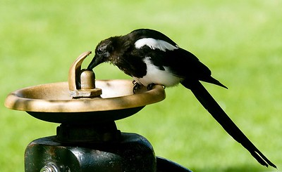 Paul Conrad/The Aspen Times A magpie sips from a leaky water fountain Wednesday morning Aug. 22, 2007, at Paepcke Park in Aspen. High temperatures in the region are expected to reach near 80 for the rest of the week.
