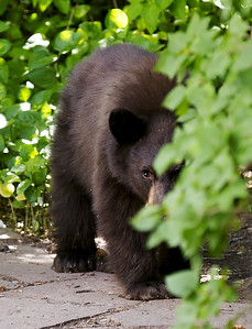 A cub peeks from behind the bushes before raiding the tables at Main Street Bakery in August 2004. Aspen Times photo/Paul Conrad.