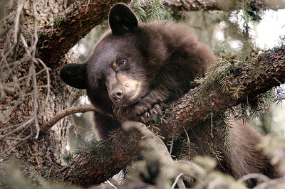 A sleepy bear tries taking a power nap in a pine tree outside Aspen City Hall on East Hopkins Avenue in Aspen, Colorado.