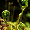 © Paul Conrad/Pablo Conrad Photography - Young fern unfurl from their fiddlesheads along the Lake Twentytwo trail near Mt. Pilchuck in in Snohomish Countyy, Wash.