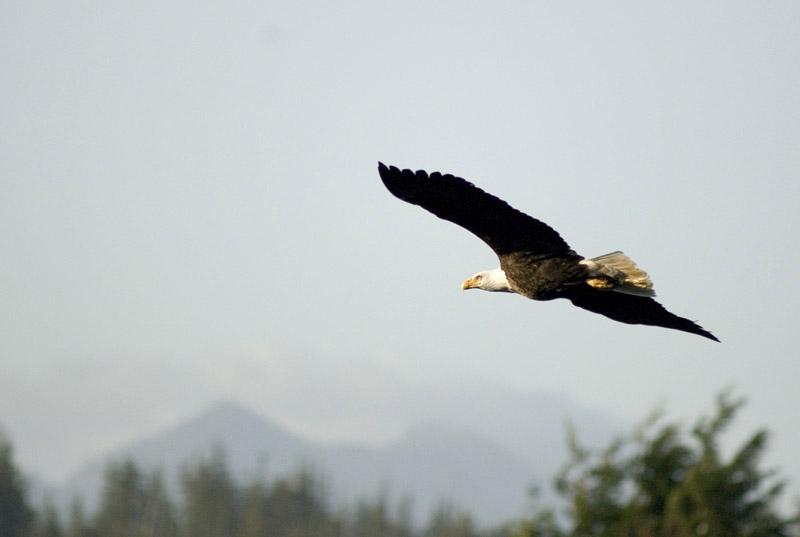 A bald eagle in flight - northwestern usa and canada