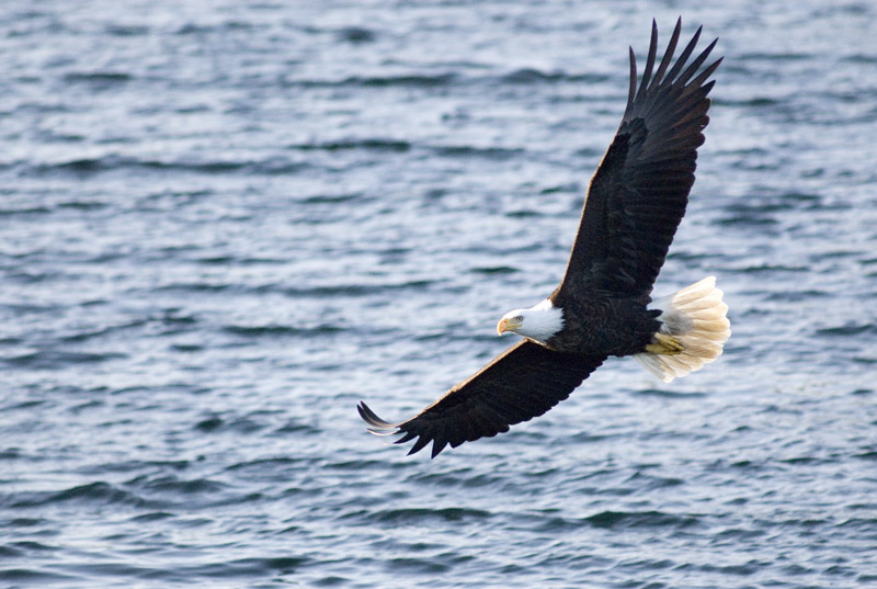 A bald eagle in flight - northwestern usa and canada