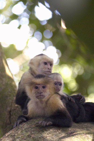 A Capuchin (also known as white faced) monkey in Manuel Antonio Park in Costa Rica, Central America. Costa Rican Wildlife photographed by a professional wildlife and nature photographer named Christina Craft.