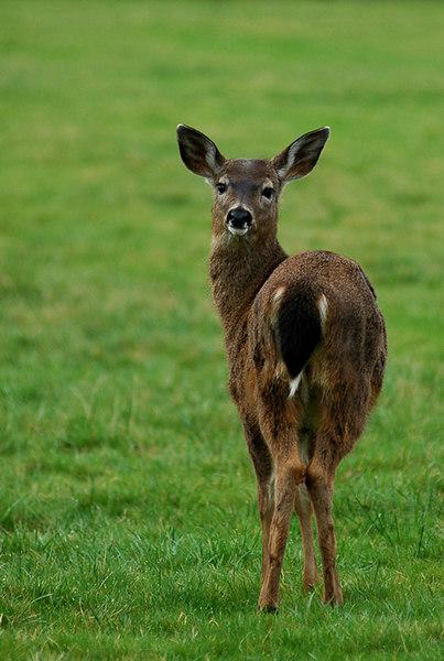 A deer in Victoria, British Columbia