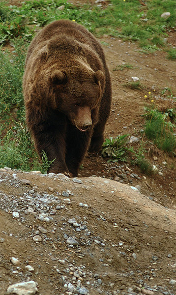 An Alaskan Brown Bear is also called a grizzly bear.
