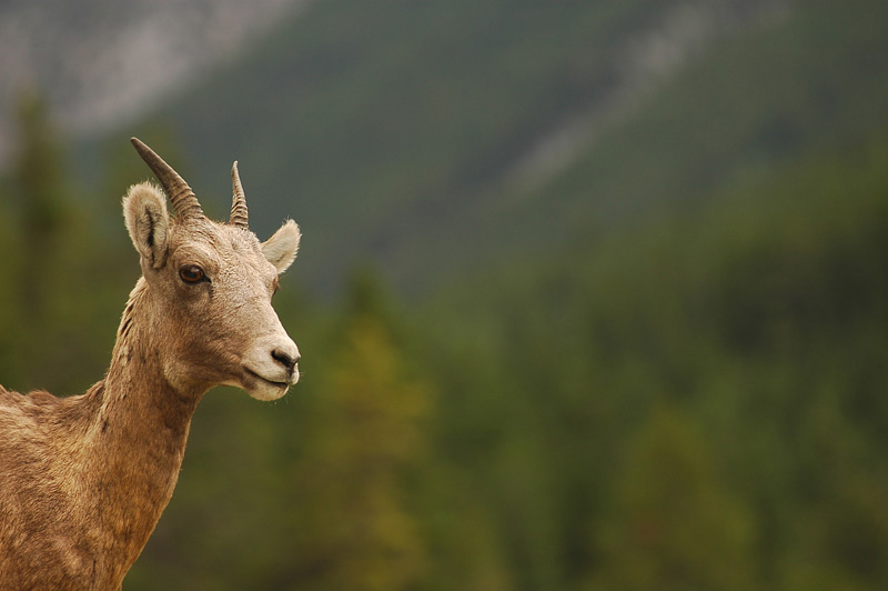 Mountain Goats of the Rockies. - Alberta, Canada near Banff, Jasper and Lake Louise