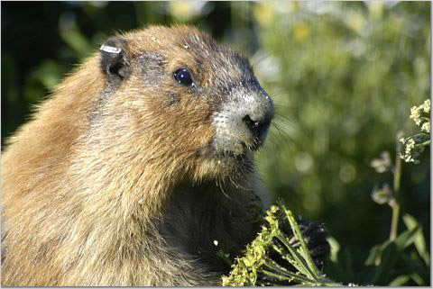 An olympic mountain marmot in the olympic mountains of olympic national park - washington state, usa near Victoria b.c.