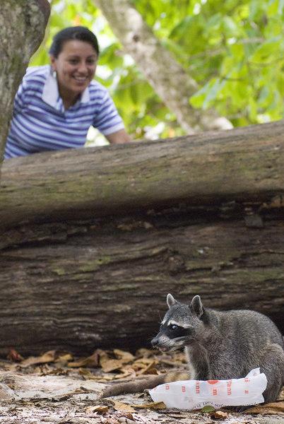 A raccoon stealing food