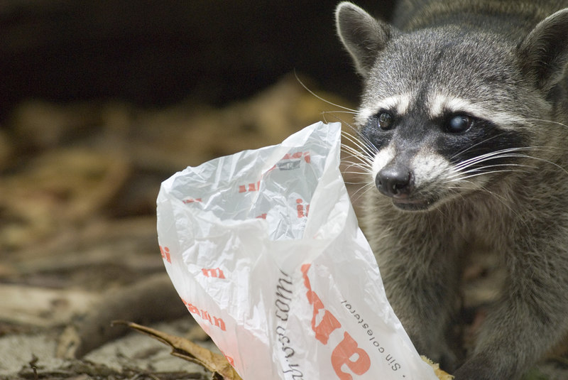 A raccoon stealing food