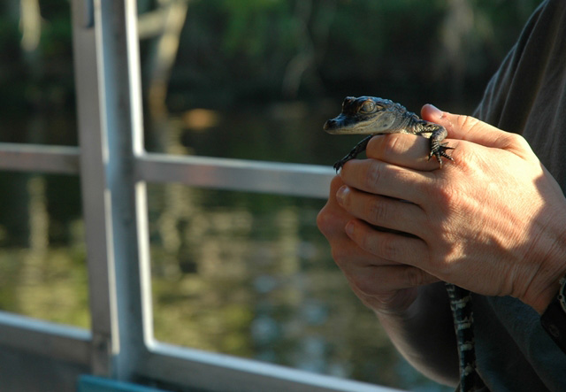 A baby alligator being held by a human