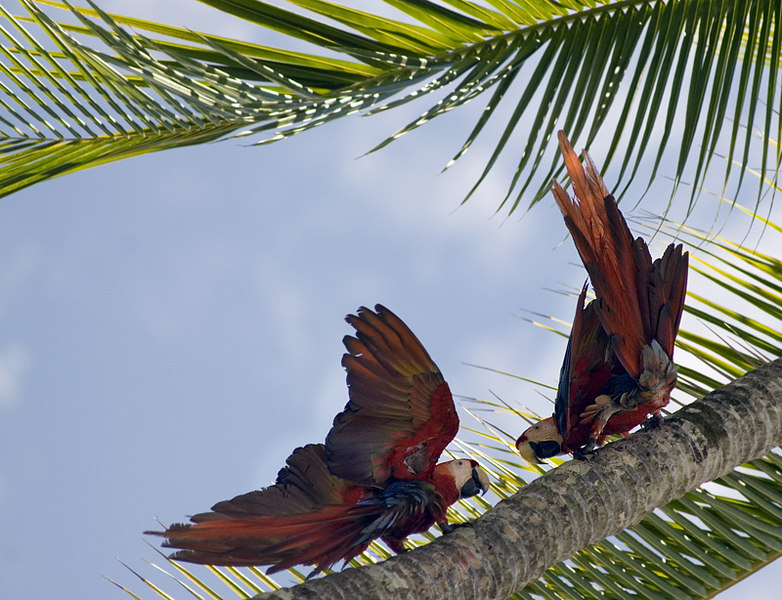 A pair of wild scarlet macaws playing in the Osa Peninsula of Costa Rica near Drake Bay at Playa San Josecito. Costa Rican Wildlife photographed by a professional wildlife and nature photographer named Christina Craft.