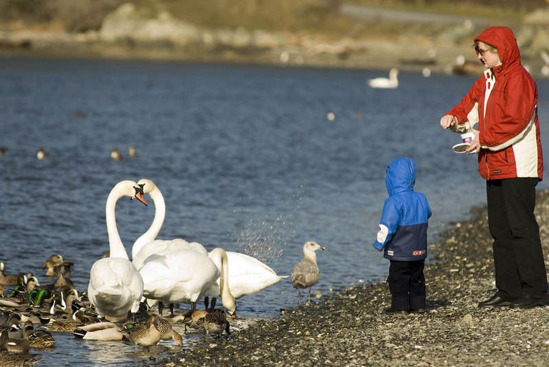A grandmother and her grandchild feed swans and ducks (mute swans) in Esquimalt Lagoon in Victoria, British Columbia (on Vancouver Island).