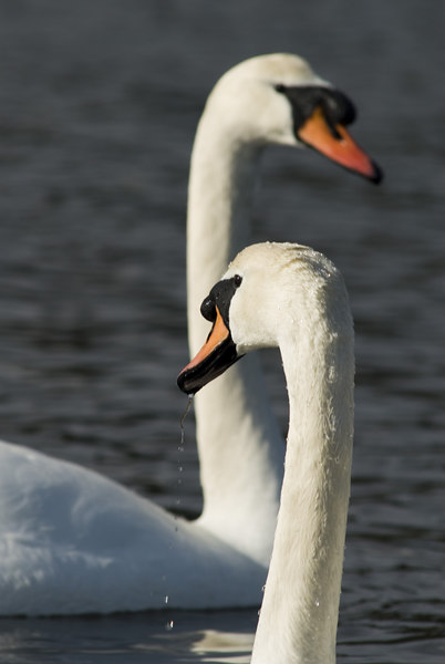 Mute swans in Esquimalt Lagoon in Victoria, British Columbia (on Vancouver Island).