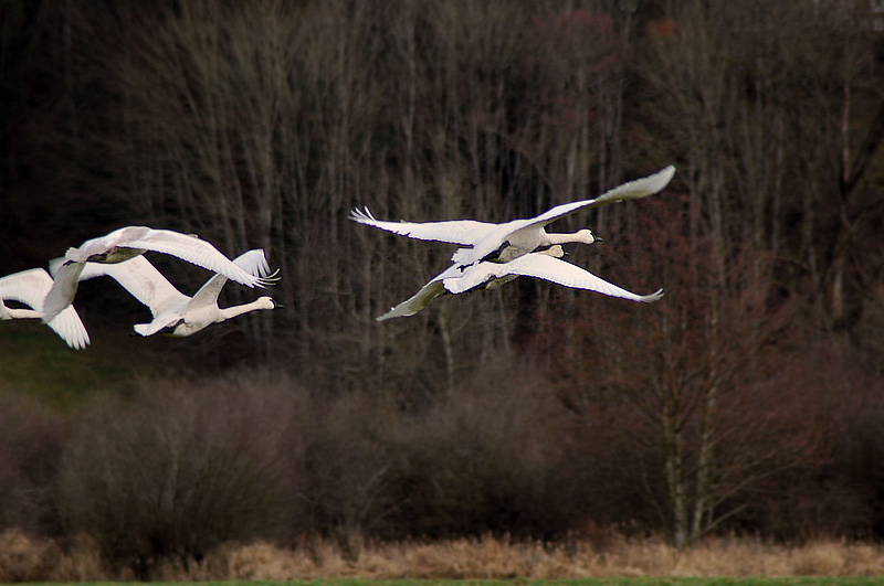 Vancouver Island trumpeter and mute swans - near Victoria b.c., royal roads university and the farms of courtenay and comox on vancouver island