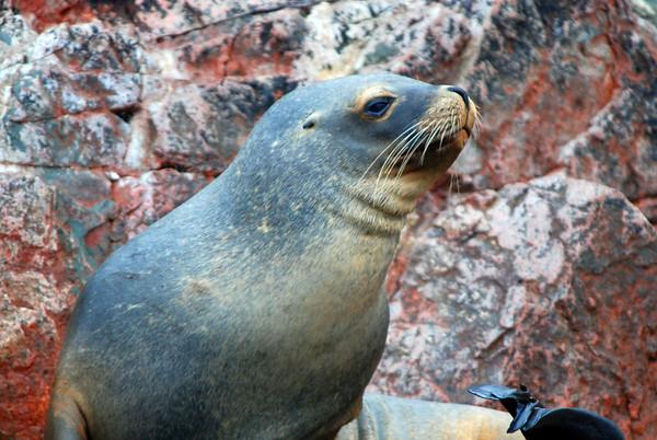 Barracus-Seals and Penguins