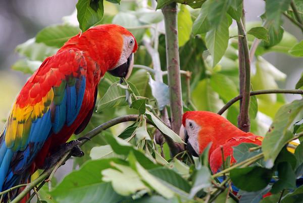 Peru Birds