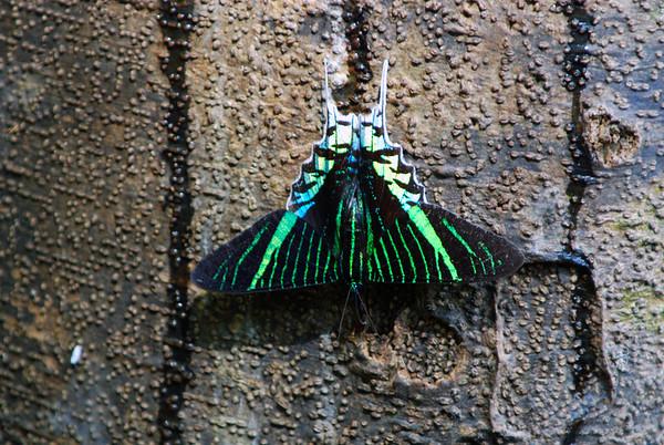Peru Butterflies