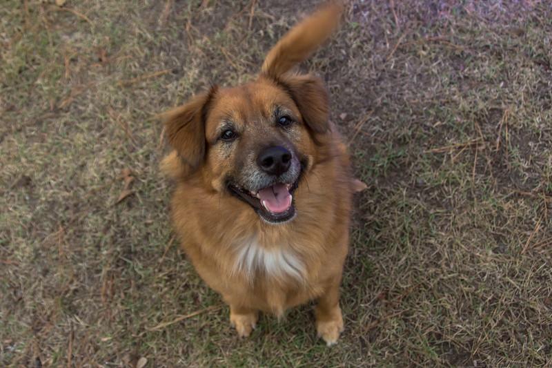 Rusty the Christmas Dog