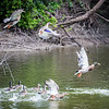 Wabash River Vigo County Ducks take off as boat goes by the West Bank