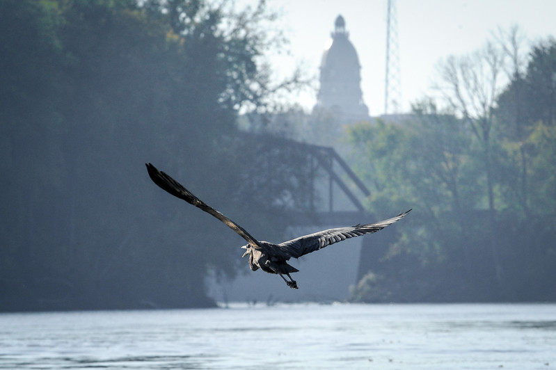 Great Blue Heron Wabash River Courthouse