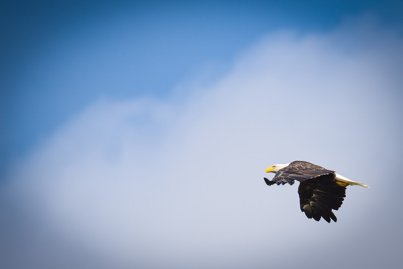 Bald Eagle over the Wabash River Wings Down with clouds