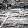 Kingfisher over the Wabash River