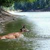 Wabash River Buck Swimming