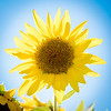 Parke County Sunflower 2017