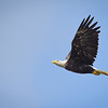 Bald Eagle over Wabash River